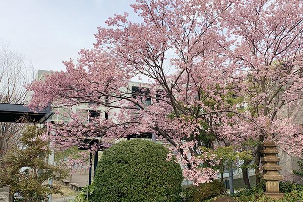 大学近況 「RYUKA HALL横の桜が満開です」
