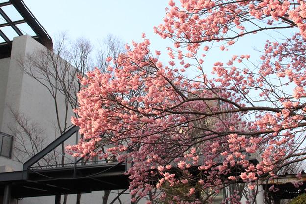 河津桜 写真1