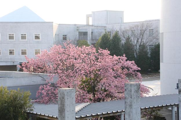 河津桜 写真2